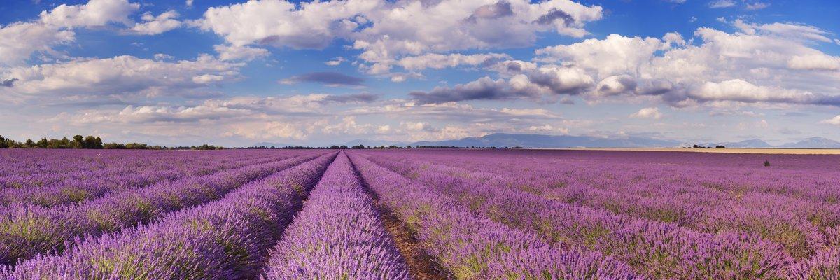 """Постер Лаванда """"Цветущие поля лаванды в Провансе, на юге Франции"""""""