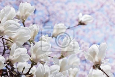 Постер Магнолия Белая магнолия цветы цветущие вишни и синие небоМагнолия<br>Постер на холсте или бумаге. Любого нужного вам размера. В раме или без. Подвес в комплекте. Трехслойная надежная упаковка. Доставим в любую точку России. Вам осталось только повесить картину на стену!<br>