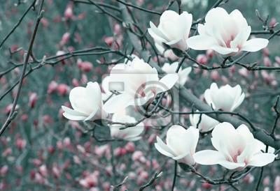 Постер Магнолия Весна цветочные фон с белыми цветами магнолии.Магнолия<br>Постер на холсте или бумаге. Любого нужного вам размера. В раме или без. Подвес в комплекте. Трехслойная надежная упаковка. Доставим в любую точку России. Вам осталось только повесить картину на стену!<br>