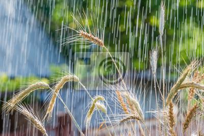 Постер Дождь Летний дождь и колоски пшеницыДождь<br>Постер на холсте или бумаге. Любого нужного вам размера. В раме или без. Подвес в комплекте. Трехслойная надежная упаковка. Доставим в любую точку России. Вам осталось только повесить картину на стену!<br>