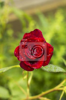 Постер Розы Цветок красной розы в летнем саду в каплях дождя. Алые розы после дождя сверхуРозы<br>Постер на холсте или бумаге. Любого нужного вам размера. В раме или без. Подвес в комплекте. Трехслойная надежная упаковка. Доставим в любую точку России. Вам осталось только повесить картину на стену!<br>