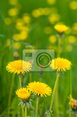 Постер Одуванчики Цветущие желтые одуванчики в зеленой травеОдуванчики<br>Постер на холсте или бумаге. Любого нужного вам размера. В раме или без. Подвес в комплекте. Трехслойная надежная упаковка. Доставим в любую точку России. Вам осталось только повесить картину на стену!<br>