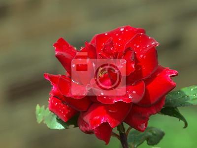 Постер Розы Красная роза с капельками водыРозы<br>Постер на холсте или бумаге. Любого нужного вам размера. В раме или без. Подвес в комплекте. Трехслойная надежная упаковка. Доставим в любую точку России. Вам осталось только повесить картину на стену!<br>