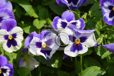 Постер Фиалки Красивые голубые фиолетовые цветы в саду Фиалки<br>Постер на холсте или бумаге. Любого нужного вам размера. В раме или без. Подвес в комплекте. Трехслойная надежная упаковка. Доставим в любую точку России. Вам осталось только повесить картину на стену!<br>
