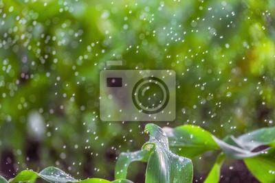 Постер Дождь Размытый зеленый фон полива стебли кукурузы с падающих капель воды.Дождь<br>Постер на холсте или бумаге. Любого нужного вам размера. В раме или без. Подвес в комплекте. Трехслойная надежная упаковка. Доставим в любую точку России. Вам осталось только повесить картину на стену!<br>