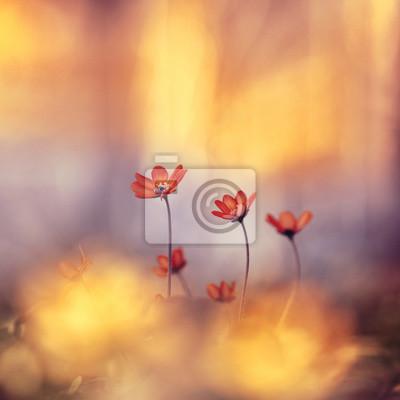 Постер Анемона Весенние лесные цветы первоцветы на красивый мягкий золотой размытый фон макро. Весна цветочные фон для обои дизайн карты. Изящный нежный очаровательный сладкий солнечный художественного образа.Анемона<br>Постер на холсте или бумаге. Любого нужного вам размера. В раме или без. Подвес в комплекте. Трехслойная надежная упаковка. Доставим в любую точку России. Вам осталось только повесить картину на стену!<br>