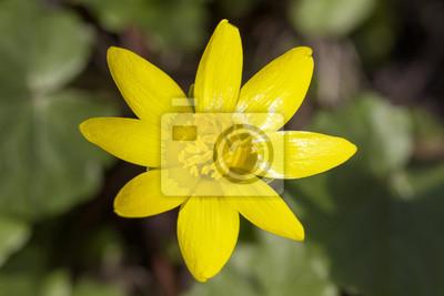 Один желтый весенний цветок Анемона печеночница в саду, 30x20 см, на бумагеАнемона<br>Постер на холсте или бумаге. Любого нужного вам размера. В раме или без. Подвес в комплекте. Трехслойная надежная упаковка. Доставим в любую точку России. Вам осталось только повесить картину на стену!<br>