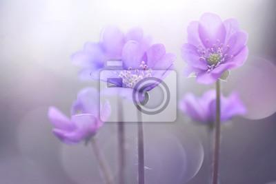 Постер Анемона Весна, цветут лесные цветы в мягкий фокус на светло-фиолетовом фоне открытый крупным планом макро. Весна шаблон цветочный фон обои. Элегантный нежный воздушный тонкий художественный образ.Анемона<br>Постер на холсте или бумаге. Любого нужного вам размера. В раме или без. Подвес в комплекте. Трехслойная надежная упаковка. Доставим в любую точку России. Вам осталось только повесить картину на стену!<br>