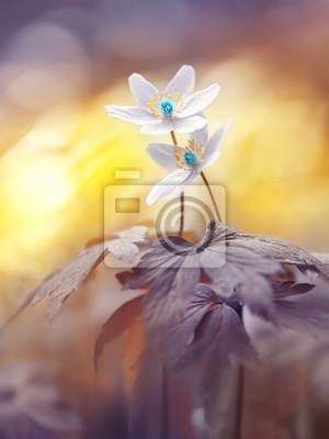 Постер Анемона Весной две цветущие лесные цветы в мягкий фокус утром на восходе солнца в солнце открытый крупным планом макро. Весна шаблон цветочный фон обои. Элегантный нежный романтический нежный художественный образ любви.Анемона<br>Постер на холсте или бумаге. Любого нужного вам размера. В раме или без. Подвес в комплекте. Трехслойная надежная упаковка. Доставим в любую точку России. Вам осталось только повесить картину на стену!<br>