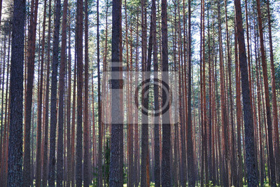Постер Утро Сосновые деревья в лесуУтро<br>Постер на холсте или бумаге. Любого нужного вам размера. В раме или без. Подвес в комплекте. Трехслойная надежная упаковка. Доставим в любую точку России. Вам осталось только повесить картину на стену!<br>