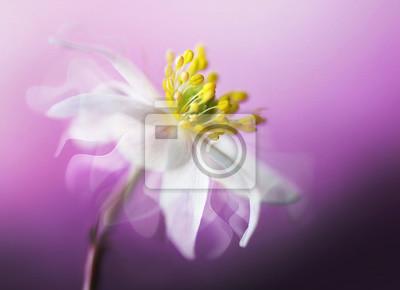 Постер Анемона Большой красивый белый весенний цветок анемона крупным планом макрос на фиолетовом фоне с порхающими лепестками на ветру с мягким фокусом. Элегантный нежный воздушный мечтательный художественный образ.Анемона<br>Постер на холсте или бумаге. Любого нужного вам размера. В раме или без. Подвес в комплекте. Трехслойная надежная упаковка. Доставим в любую точку России. Вам осталось только повесить картину на стену!<br>
