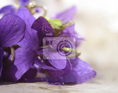 Постер Цветы Лес Violaceae покрытые росой. Первые весенние цветы, снятые крупным планом с селективным фокусом. Красивые абстрактные цветочный фон., 25x20 см, на бумагеФиалки<br>Постер на холсте или бумаге. Любого нужного вам размера. В раме или без. Подвес в комплекте. Трехслойная надежная упаковка. Доставим в любую точку России. Вам осталось только повесить картину на стену!<br>