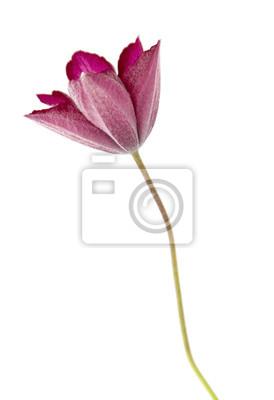 Постер Клематисы Цветок сад Клематис (Девы, беседки), изолированных на беломКлематисы<br>Постер на холсте или бумаге. Любого нужного вам размера. В раме или без. Подвес в комплекте. Трехслойная надежная упаковка. Доставим в любую точку России. Вам осталось только повесить картину на стену!<br>