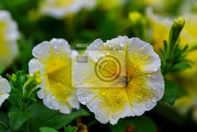Постер Цветы Открытый цвет макро один желтый и фиолетовый цветения гибискус цветок, 30x20 см, на бумагеФиалки<br>Постер на холсте или бумаге. Любого нужного вам размера. В раме или без. Подвес в комплекте. Трехслойная надежная упаковка. Доставим в любую точку России. Вам осталось только повесить картину на стену!<br>