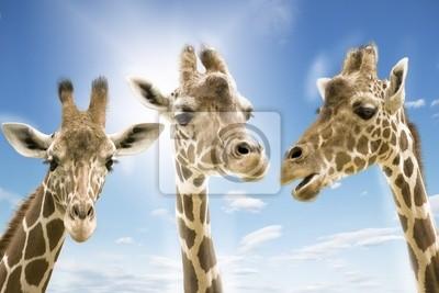 Постер Животные Giraffen wd273, 30x20 см, на бумагеЖирафы<br>Постер на холсте или бумаге. Любого нужного вам размера. В раме или без. Подвес в комплекте. Трехслойная надежная упаковка. Доставим в любую точку России. Вам осталось только повесить картину на стену!<br>