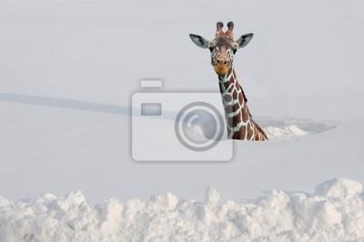 Жираф в глубоком снегу, 30x20 см, на бумагеЖирафы<br>Постер на холсте или бумаге. Любого нужного вам размера. В раме или без. Подвес в комплекте. Трехслойная надежная упаковка. Доставим в любую точку России. Вам осталось только повесить картину на стену!<br>