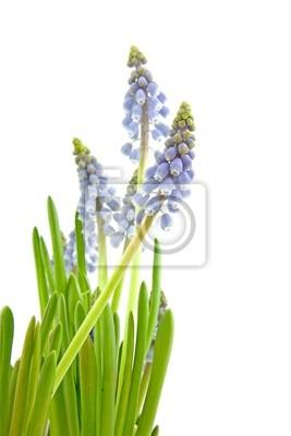 Постер Гиацинты Muscari botryoides цветы на белом фонеГиацинты<br>Постер на холсте или бумаге. Любого нужного вам размера. В раме или без. Подвес в комплекте. Трехслойная надежная упаковка. Доставим в любую точку России. Вам осталось только повесить картину на стену!<br>