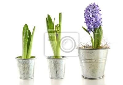 Постер Гиацинты Фиолетовый гиацинт в сад горшки на беломГиацинты<br>Постер на холсте или бумаге. Любого нужного вам размера. В раме или без. Подвес в комплекте. Трехслойная надежная упаковка. Доставим в любую точку России. Вам осталось только повесить картину на стену!<br>
