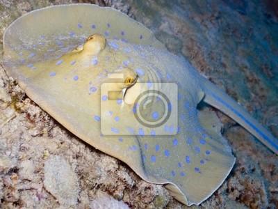 Постер Подводный мир Постер 22212662, 27x20 см, на бумагеСкаты<br>Постер на холсте или бумаге. Любого нужного вам размера. В раме или без. Подвес в комплекте. Трехслойная надежная упаковка. Доставим в любую точку России. Вам осталось только повесить картину на стену!<br>