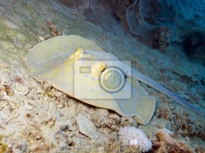 Постер Подводный мир Bluespotted ribbontail ray прячется в пещере, во время дня, 27x20 см, на бумагеСкаты<br>Постер на холсте или бумаге. Любого нужного вам размера. В раме или без. Подвес в комплекте. Трехслойная надежная упаковка. Доставим в любую точку России. Вам осталось только повесить картину на стену!<br>