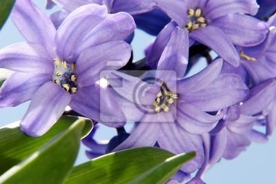 Постер Гиацинты Фиолетовый цветок гиацинтГиацинты<br>Постер на холсте или бумаге. Любого нужного вам размера. В раме или без. Подвес в комплекте. Трехслойная надежная упаковка. Доставим в любую точку России. Вам осталось только повесить картину на стену!<br>