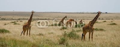 Панорама жирафов в safari, 51x20 см, на бумагеЖирафы<br>Постер на холсте или бумаге. Любого нужного вам размера. В раме или без. Подвес в комплекте. Трехслойная надежная упаковка. Доставим в любую точку России. Вам осталось только повесить картину на стену!<br>