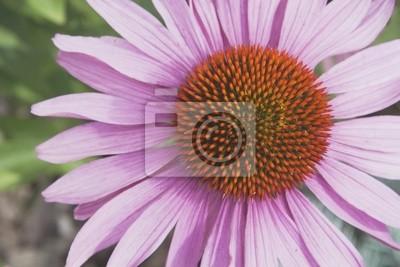 Постер Эхинацея Эхинацея Цветок (Echinacea Pallida)Эхинацея<br>Постер на холсте или бумаге. Любого нужного вам размера. В раме или без. Подвес в комплекте. Трехслойная надежная упаковка. Доставим в любую точку России. Вам осталось только повесить картину на стену!<br>