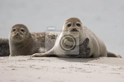 Постер Тюлени и морские котики NeugierigТюлени и морские котики<br>Постер на холсте или бумаге. Любого нужного вам размера. В раме или без. Подвес в комплекте. Трехслойная надежная упаковка. Доставим в любую точку России. Вам осталось только повесить картину на стену!<br>