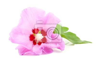 Постер Гибискус Розовый цветок Гибискуса на белом фонеГибискус<br>Постер на холсте или бумаге. Любого нужного вам размера. В раме или без. Подвес в комплекте. Трехслойная надежная упаковка. Доставим в любую точку России. Вам осталось только повесить картину на стену!<br>