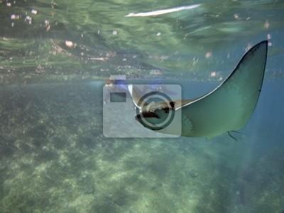 Постер Подводный мир Постер 25938187, 27x20 см, на бумагеСкаты<br>Постер на холсте или бумаге. Любого нужного вам размера. В раме или без. Подвес в комплекте. Трехслойная надежная упаковка. Доставим в любую точку России. Вам осталось только повесить картину на стену!<br>