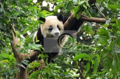 Постер Панда Гигантская панда альпинизм деревоПанда<br>Постер на холсте или бумаге. Любого нужного вам размера. В раме или без. Подвес в комплекте. Трехслойная надежная упаковка. Доставим в любую точку России. Вам осталось только повесить картину на стену!<br>