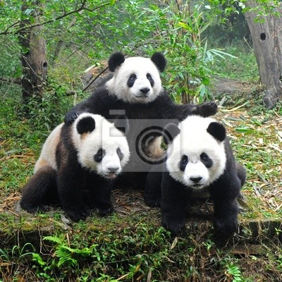 Постер Панда Гигантский медведь панда позируют для камерыПанда<br>Постер на холсте или бумаге. Любого нужного вам размера. В раме или без. Подвес в комплекте. Трехслойная надежная упаковка. Доставим в любую точку России. Вам осталось только повесить картину на стену!<br>