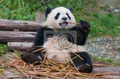 Гигантская панда позируют для камеры и ели бамбука, 30x20 см, на бумагеПанда<br>Постер на холсте или бумаге. Любого нужного вам размера. В раме или без. Подвес в комплекте. Трехслойная надежная упаковка. Доставим в любую точку России. Вам осталось только повесить картину на стену!<br>