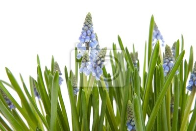 Постер Гиацинты Muscari botryoides цветы, также известный как синий виноград гиацинтГиацинты<br>Постер на холсте или бумаге. Любого нужного вам размера. В раме или без. Подвес в комплекте. Трехслойная надежная упаковка. Доставим в любую точку России. Вам осталось только повесить картину на стену!<br>