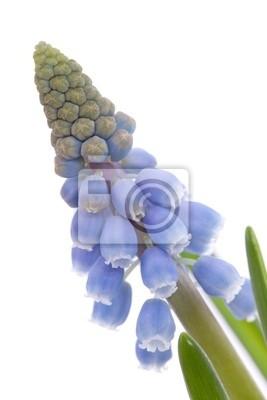 Постер Гиацинты Muscari botryoides цветок, известный также как синий виноград гиацинтГиацинты<br>Постер на холсте или бумаге. Любого нужного вам размера. В раме или без. Подвес в комплекте. Трехслойная надежная упаковка. Доставим в любую точку России. Вам осталось только повесить картину на стену!<br>