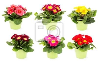 Постер Примула Primula цветокПримула<br>Постер на холсте или бумаге. Любого нужного вам размера. В раме или без. Подвес в комплекте. Трехслойная надежная упаковка. Доставим в любую точку России. Вам осталось только повесить картину на стену!<br>