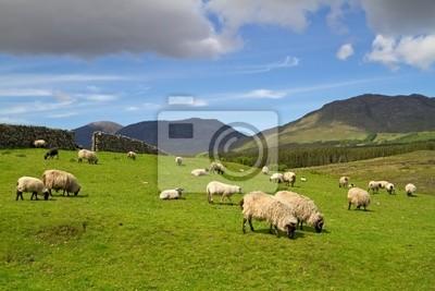 Постер Пейзаж горный Овец и Баранов в Connemara горы - ИрландияПейзаж горный<br>Постер на холсте или бумаге. Любого нужного вам размера. В раме или без. Подвес в комплекте. Трехслойная надежная упаковка. Доставим в любую точку России. Вам осталось только повесить картину на стену!<br>