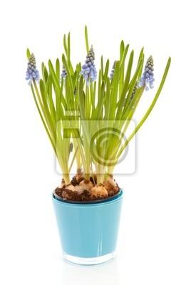 Постер Гиацинты Muscari botryoides цветы, также известный как синий виноградГиацинты<br>Постер на холсте или бумаге. Любого нужного вам размера. В раме или без. Подвес в комплекте. Трехслойная надежная упаковка. Доставим в любую точку России. Вам осталось только повесить картину на стену!<br>