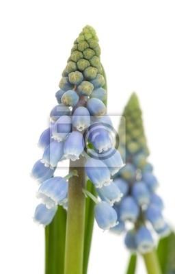 Постер Гиацинты Muscari botryoides цветок, известный также как синий виноград гиацинт в cГиацинты<br>Постер на холсте или бумаге. Любого нужного вам размера. В раме или без. Подвес в комплекте. Трехслойная надежная упаковка. Доставим в любую точку России. Вам осталось только повесить картину на стену!<br>