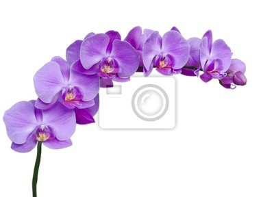 Постер Орхидеи Ветка сиреневых цветов орхидеи на белом фонеОрхидеи<br>Постер на холсте или бумаге. Любого нужного вам размера. В раме или без. Подвес в комплекте. Трехслойная надежная упаковка. Доставим в любую точку России. Вам осталось только повесить картину на стену!<br>