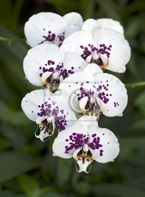 Постер Орхидеи Ветка белых орхидей с пурпурными крапинами.Орхидеи<br>Постер на холсте или бумаге. Любого нужного вам размера. В раме или без. Подвес в комплекте. Трехслойная надежная упаковка. Доставим в любую точку России. Вам осталось только повесить картину на стену!<br>