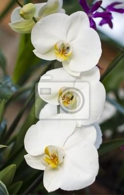 Постер Орхидеи Ветка белых орхидей на фоне зелениОрхидеи<br>Постер на холсте или бумаге. Любого нужного вам размера. В раме или без. Подвес в комплекте. Трехслойная надежная упаковка. Доставим в любую точку России. Вам осталось только повесить картину на стену!<br>