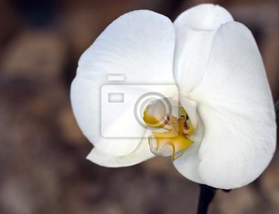 Постер Орхидеи Цветок белой орхидеи.Орхидеи<br>Постер на холсте или бумаге. Любого нужного вам размера. В раме или без. Подвес в комплекте. Трехслойная надежная упаковка. Доставим в любую точку России. Вам осталось только повесить картину на стену!<br>