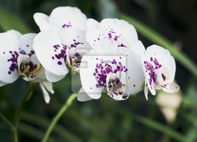 Постер Цветы Ветка белых орхидей с пурпурными крапинами., 28x20 см, на бумагеОрхидеи<br>Постер на холсте или бумаге. Любого нужного вам размера. В раме или без. Подвес в комплекте. Трехслойная надежная упаковка. Доставим в любую точку России. Вам осталось только повесить картину на стену!<br>