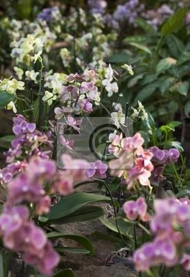 Постер Орхидеи Выращивание орхидей в оранжерее. Ботанический сад.Орхидеи<br>Постер на холсте или бумаге. Любого нужного вам размера. В раме или без. Подвес в комплекте. Трехслойная надежная упаковка. Доставим в любую точку России. Вам осталось только повесить картину на стену!<br>