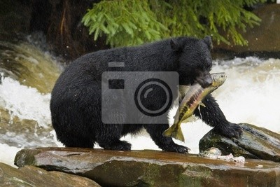 Постер Медведи Черный Медведь, На Аляске, KetchikanМедведи<br>Постер на холсте или бумаге. Любого нужного вам размера. В раме или без. Подвес в комплекте. Трехслойная надежная упаковка. Доставим в любую точку России. Вам осталось только повесить картину на стену!<br>
