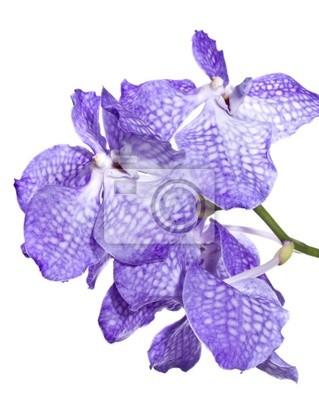 Постер Орхидеи Орхидея ВандаОрхидеи<br>Постер на холсте или бумаге. Любого нужного вам размера. В раме или без. Подвес в комплекте. Трехслойная надежная упаковка. Доставим в любую точку России. Вам осталось только повесить картину на стену!<br>