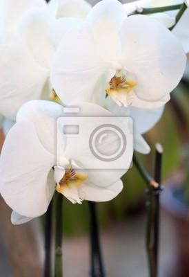 Постер Орхидеи Цветы белой орхидеиОрхидеи<br>Постер на холсте или бумаге. Любого нужного вам размера. В раме или без. Подвес в комплекте. Трехслойная надежная упаковка. Доставим в любую точку России. Вам осталось только повесить картину на стену!<br>