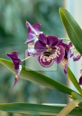 Постер Орхидеи Фиолетовая гибридная орхидея.Орхидеи<br>Постер на холсте или бумаге. Любого нужного вам размера. В раме или без. Подвес в комплекте. Трехслойная надежная упаковка. Доставим в любую точку России. Вам осталось только повесить картину на стену!<br>