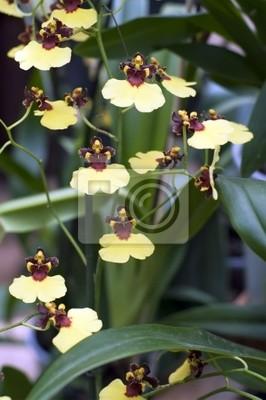 Постер Орхидеи Танцующая желтая орхидея (лат. Orchid?ceae Oncidium ampliatum)Орхидеи<br>Постер на холсте или бумаге. Любого нужного вам размера. В раме или без. Подвес в комплекте. Трехслойная надежная упаковка. Доставим в любую точку России. Вам осталось только повесить картину на стену!<br>